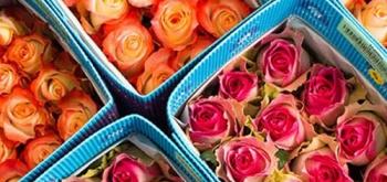 Мифы и легенды об эквадорской розе